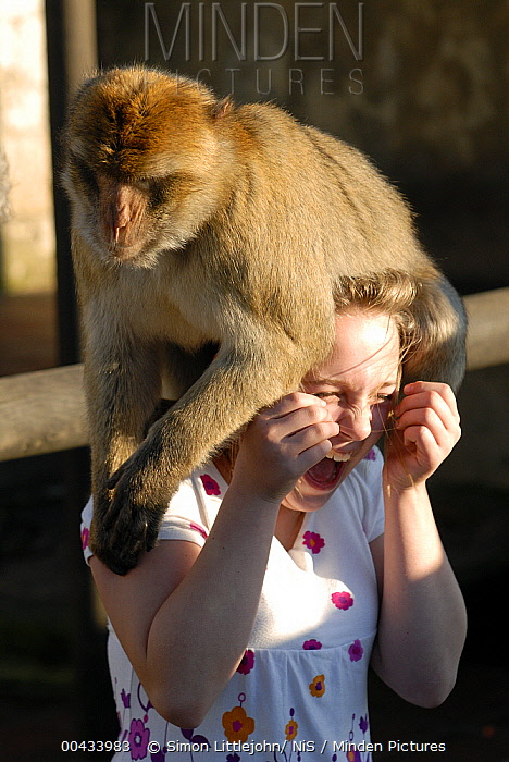 Barbary Macaque (Macaca sylvanus) sitting on the head of a girl, Rock of Gibraltar, United Kingdom  -  Simon Littlejohn/ NiS