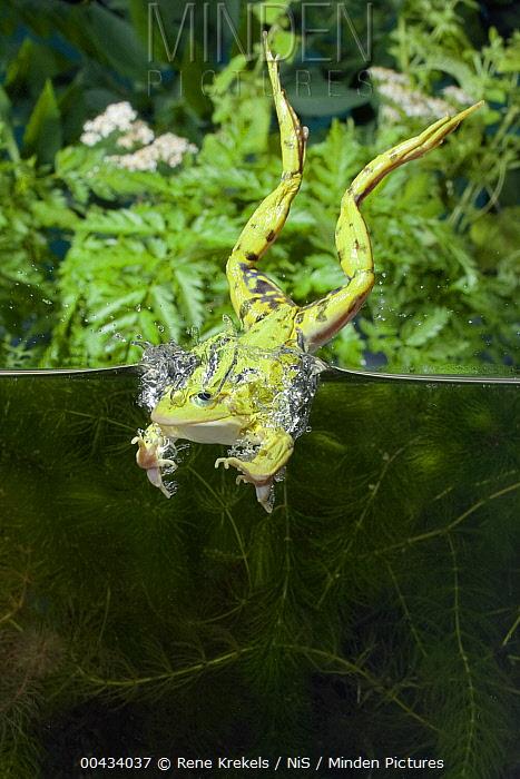 Edible Frog (Rana esculenta) diving into the water, Gelderland, Netherlands  -  Rene Krekels/ NIS