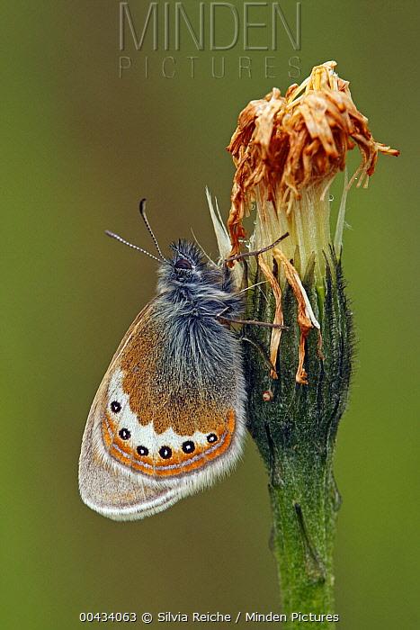 Alpine Heath (Coenonympha gardetta) butterfly on flower bud, Hohe Tauern National Park, Austria  -  Silvia Reiche