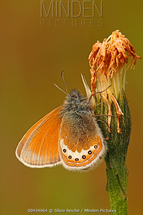 Alpine Heath (Coenonympha gardetta) butterfly on flower bud, Hohe Tauern National Park, Austria  -  Silvia Reiche