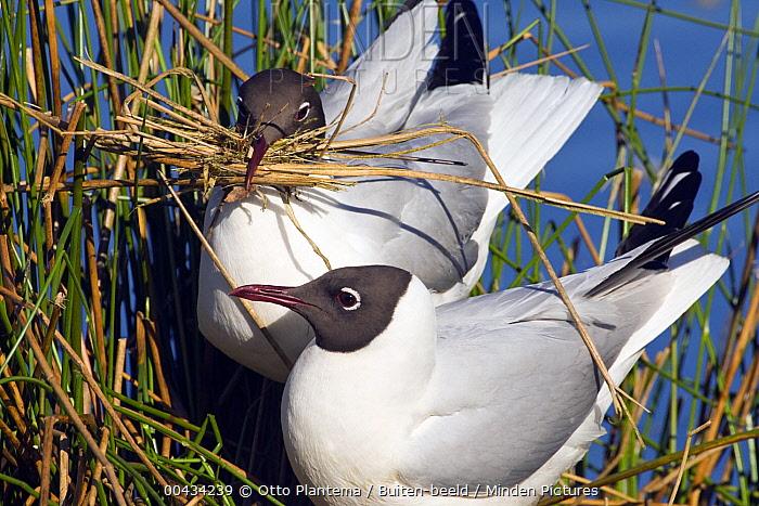 Black-headed Gull (Chroicocephalus ridibundus) pair on nest, De Groote Peel National Park, Netherlands  -  Otto Plantema/ Buiten-beeld