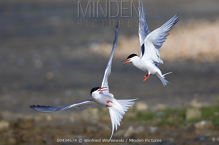 Common Tern (Sterna hirundo) pair fighting, Netherlands  -  Winfried Wisniewski