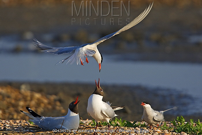 Common Tern (Sterna hirundo) and Black-headed Gulls (Chroicocephalus ridibundus) at combined rookery, Netherlands  -  Winfried Wisniewski