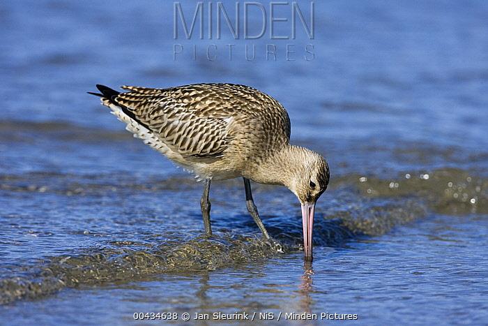 Bar-tailed Godwit (Limosa lapponica) foraging along the shoreline, IJmuiden, Noord-Holland, Netherlands  -  Jan Sleurink/ NiS
