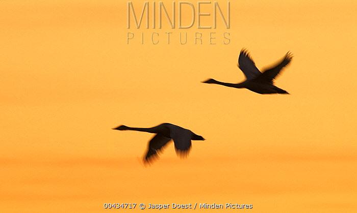 Whooper Swan (Cygnus cygnus) pair flying at sunset, Sweden  -  Jasper Doest