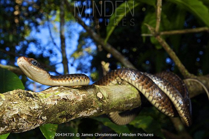 Keeled Racer (Chironius carinatus) in a coffee plantation, Colon, Panama  -  James Christensen