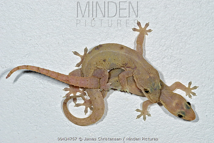 Moreau's Tropical House Gecko (Hemidactylus mabouia) pair mating on ceiling, Colon, Panama  -  James Christensen