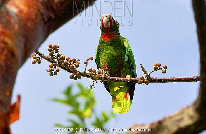 Cuban Parrot (Amazona leucocephala) perching on Gumbo Limbo (Bursera simaruba) branch, Grand Cayman, Cayman Islands, Caribbean  -  Philip Friskorn/ NiS