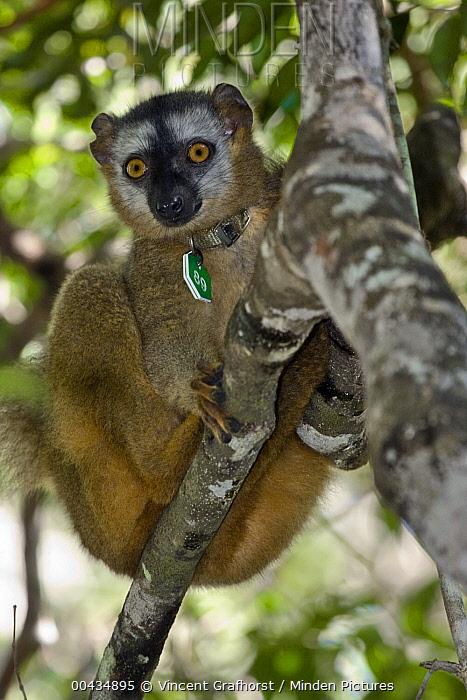 Red-fronted Brown Lemur (Eulemur fulvus rufus) with identification collar, Kirindy Forest, Madagascar  -  Vincent Grafhorst