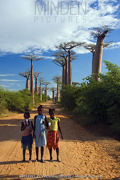Grandidier's Baobab (Adansonia grandidieri) with Malagasy girls holding water lilies at the Avenue of the Baobabs, Morondava, Madagascar  -  Vincent Grafhorst