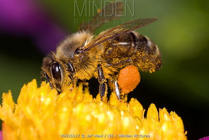 Honey Bee (Apis mellifera) on flower with pollen sticking to its leg, Netherlands  -  Jef Meul/ NIS