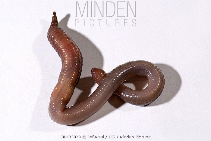 Earthworm (Lumbricidae), Netherlands  -  Jef Meul/ NIS