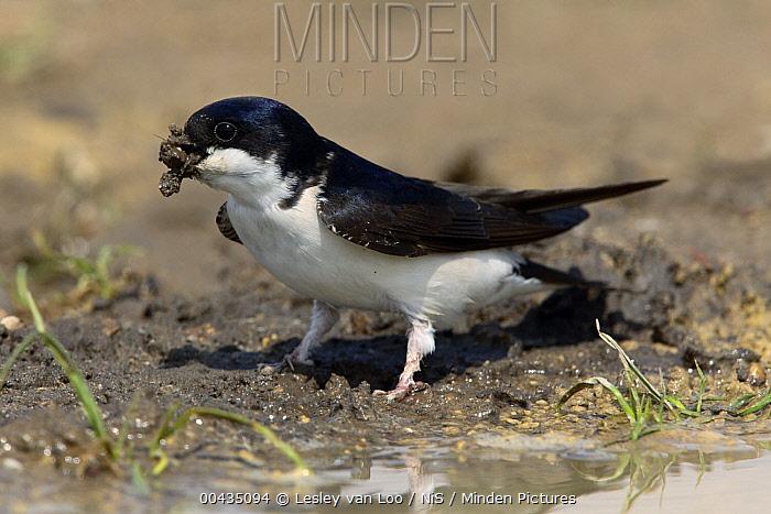 Common House Martin (Delichon urbicum) collecting mud for nest building, Gelderland, Netherlands  -  Lesley van Loo/ NiS