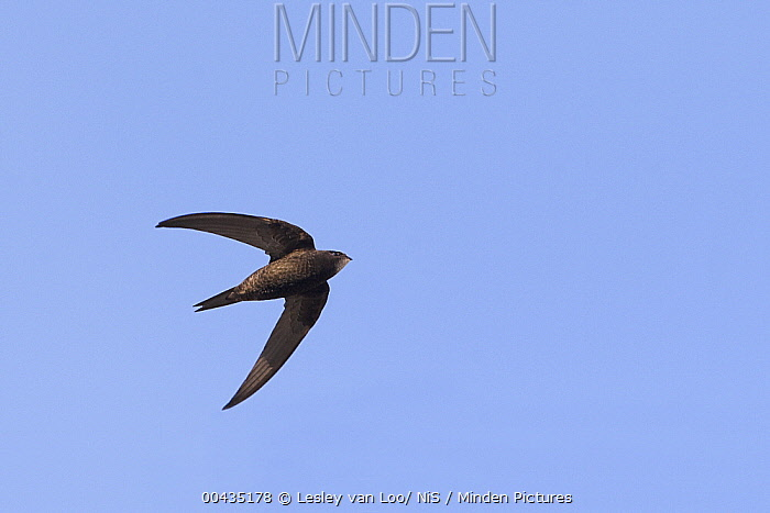 Common Swift (Apus apus) flying, Flevoland, Netherlands  -  Lesley van Loo/ NiS