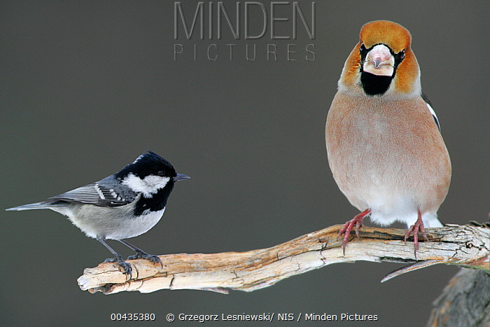 Hawfinch (Coccothraustes coccothraustes) and Coal Tit (Periparus ater) perching on the same branch, Bialowieza Primaeval Forest, Poland  -  Grzegorz Lesniewski/ NIS