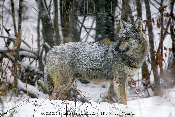 Gray Wolf (Canis lupus) covered with snow, Carpathian Mountains, Poland  -  Grzegorz Lesniewski/ NIS