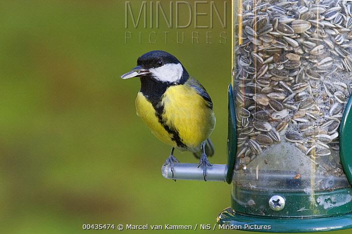 Great Tit (Parus major) feeding from birdfeeder, Zwaagwesteinde, Friesland, Netherlands  -  Marcel van Kammen/ NiS