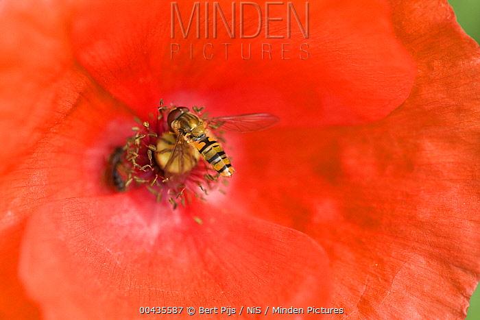 Marmalade Hover Fly (Episyrphus balteatus) male on a poppy, Limburg, Netherlands  -  Bert Pijs/ NIS