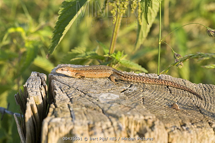 Viviparous Lizard (Zootoca vivipara) female sunbathing, Gulpen, Limburg, Netherlands  -  Bert Pijs/ NIS
