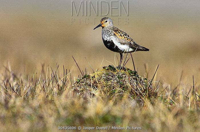 Dunlin (Calidris alpina) in breeding plumage, Svalbard, Norway  -  Jasper Doest