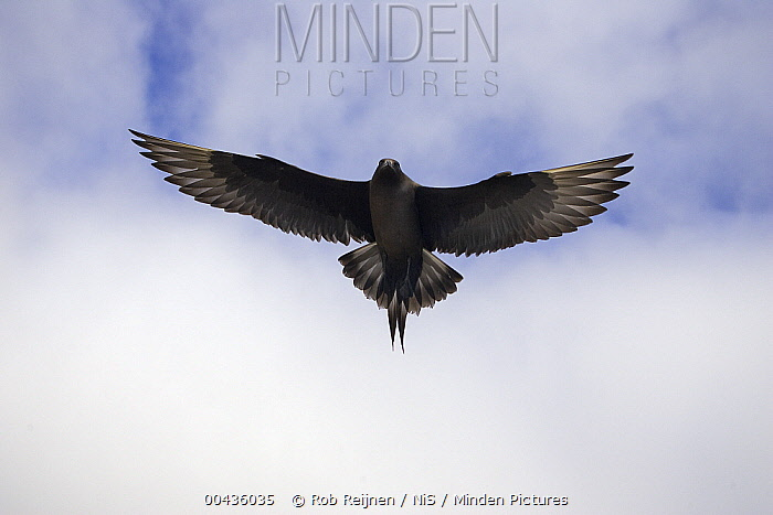 Arctic Skua (Stercorarius parasiticus) flying, Iceland  -  Rob Reijnen / NiS