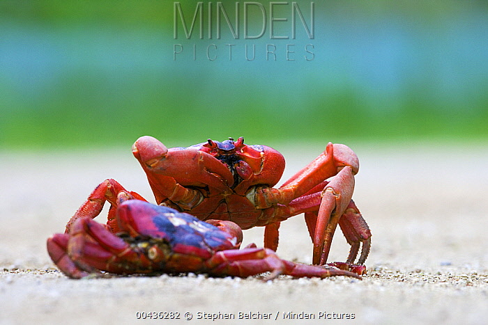 Christmas Island Red Crab (Gecarcoidea natalis) feeding on the remains of another crab crushed on the road, Christmas Island, Australia  -  Stephen Belcher