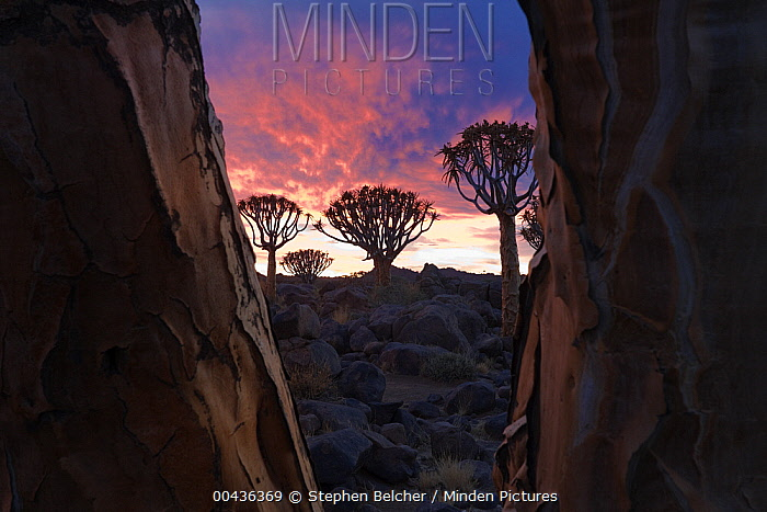 Quiver Tree (Aloe dichotoma) silhouettes at sunset, Keetmanshoop, Namibia  -  Stephen Belcher