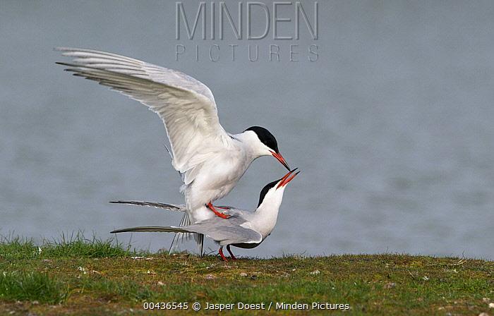 Common Tern (Sterna hirundo) mating, Texel, Netherlands  -  Jasper Doest