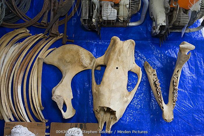 Sumatran Rhinoceros (Dicerorhinus sumatrensis) confiscated equipment and animal remains taken from poachers, Way Kambas National Park, Sumatra, Indonesia  -  Stephen Belcher