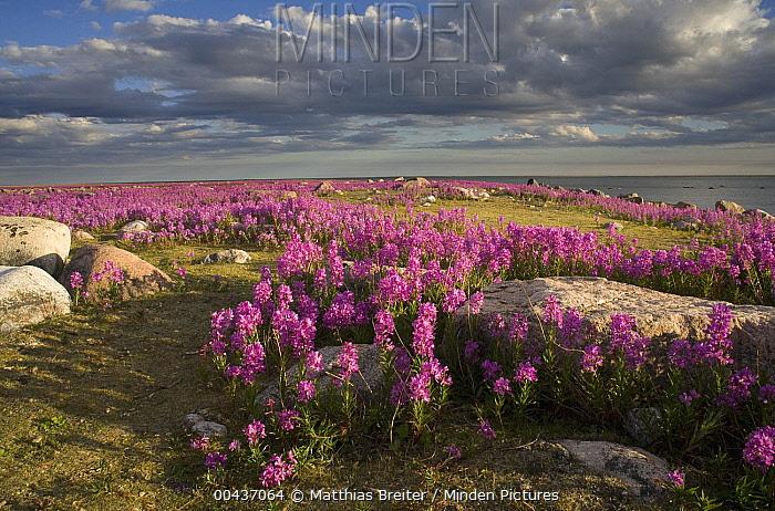 Fireweed (Chamerion angustifolium) covered island, Hudson Bay, Canada  -  Matthias Breiter