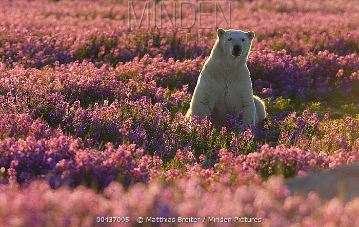 Polar Bear (Ursus maritimus) female in a field of fireweed, Hudson Bay, Canada  -  Matthias Breiter