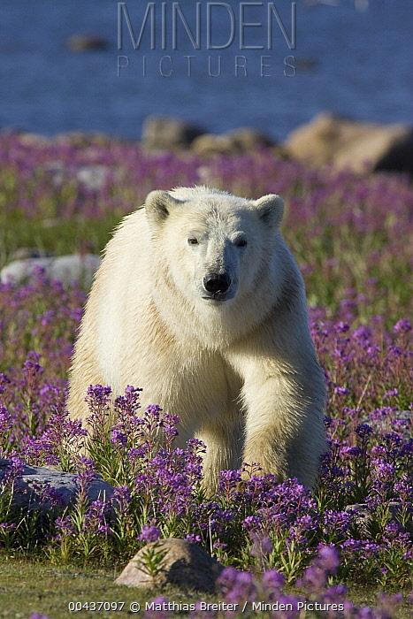 Polar Bear (Ursus maritimus) male in a field of fireweed, Hudson Bay, Canada  -  Matthias Breiter