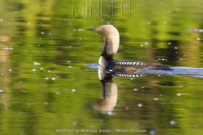 Pacific Loon (Gavia pacifica) in breeding plumage, Anchorage, Alaska  -  Matthias Breiter