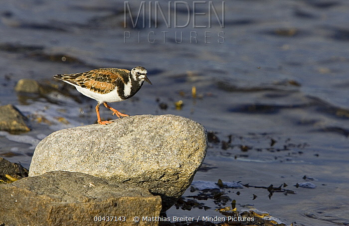 Ruddy Turnstone (Arenaria interpres), Hudson Bay, Canada  -  Matthias Breiter