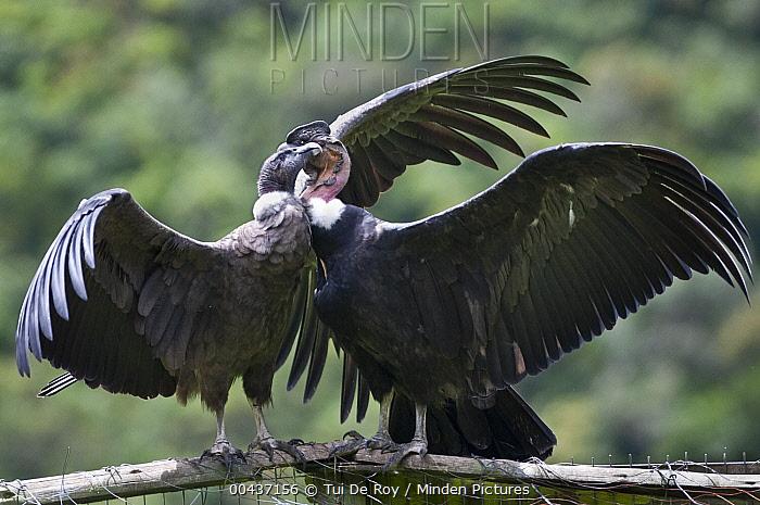 Andean Condor (Vultur gryphus) pair, wild birds visiting captives in rehabilitation center, Condor Huasi Project, Hacienda Zuleta, Cayambe, Ecuador  -  Tui De Roy