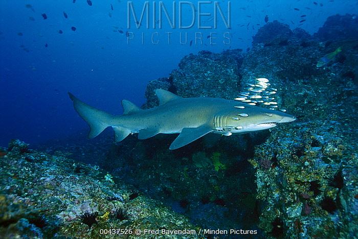 Grey Nurse Shark (Carcharias taurus) swimming over reef, New South Wales, Australia  -  Fred Bavendam