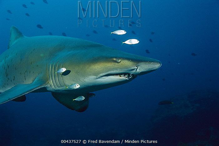 Grey Nurse Shark (Carcharias taurus) underwater portrait, New South Wales, Australia  -  Fred Bavendam