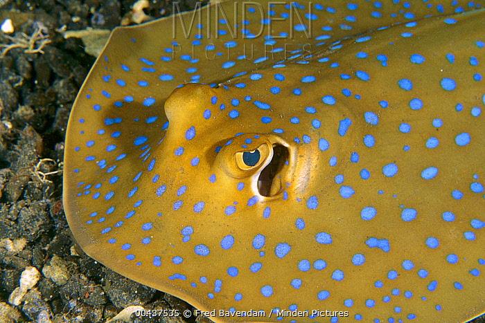 Blue Spotted Fantail Stingray (Taeniura lymma), Lembeh Strait, Indonesia  -  Fred Bavendam
