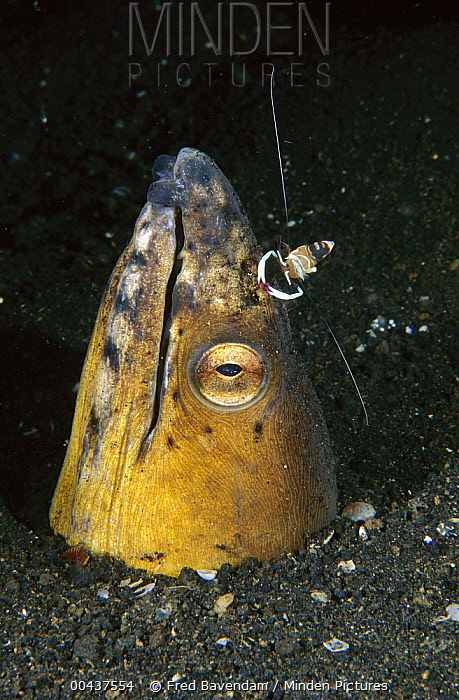 Black-finned Snake Eel (Ophichthus melanochir) being cleaned by a shrimp, Lembeh Strait, Indonesia  -  Fred Bavendam