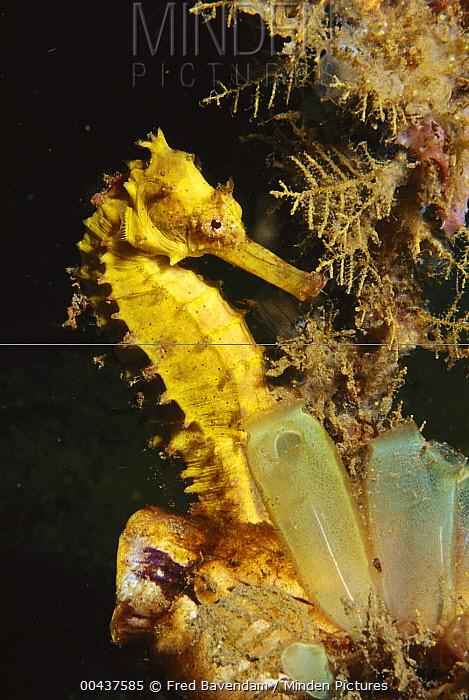 Yellow Sea Horse (Hippocampus kuda) near tunicates, Lembeh Strait, Indonesia  -  Fred Bavendam