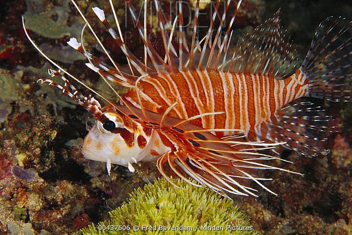 Spotfin Lionfish (Pterois antennata), Kimbe Bay, Papua New Guinea  -  Fred Bavendam