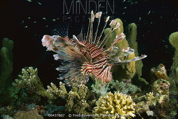 Common Lionfish (Pterois volitans), Milne Bay, Papua New Guinea  -  Fred Bavendam