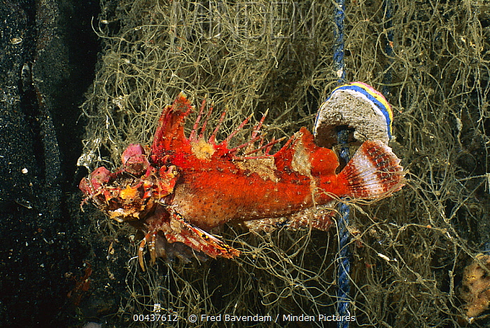 Demon Stinger (Inimicus caledonicus) caught in derelict fishing net, an example of ghost fishing, Lembeh Strait, Indonesia  -  Fred Bavendam