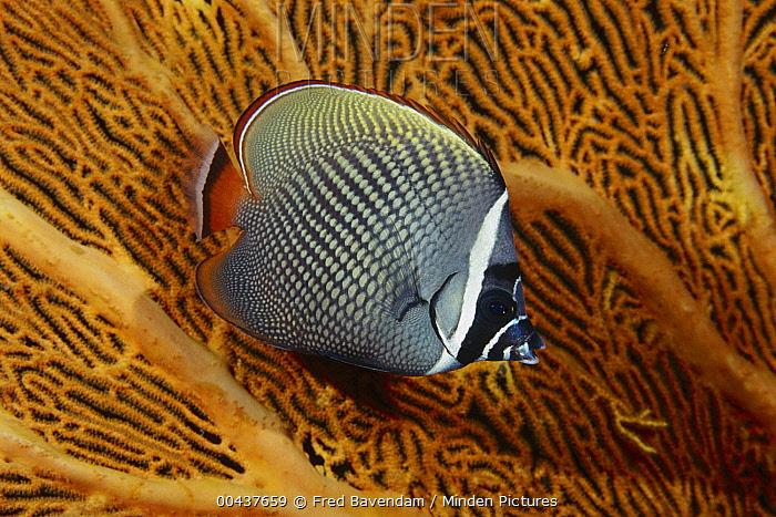 Collared Butterflyfish (Chaetodon collare) against sea fan, Andaman Sea, Thailand  -  Fred Bavendam