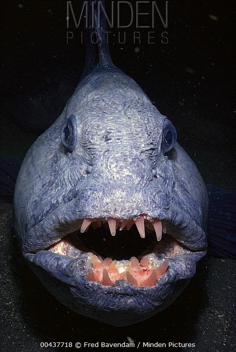 Atlantic Wolffish (Anarhichas lupus), York, Maine  -  Fred Bavendam