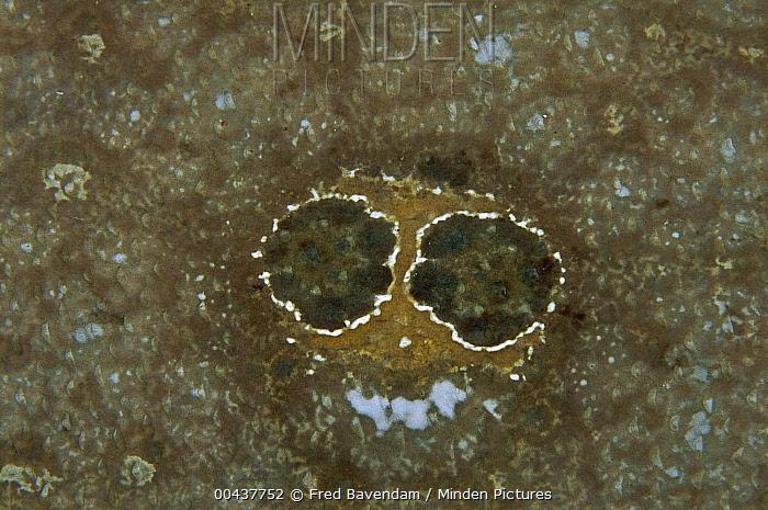 Ocellated Flounder (Pseudorhombus dupliciocellatus) fake eye spots, Lembeh Strait, Indonesia  -  Fred Bavendam
