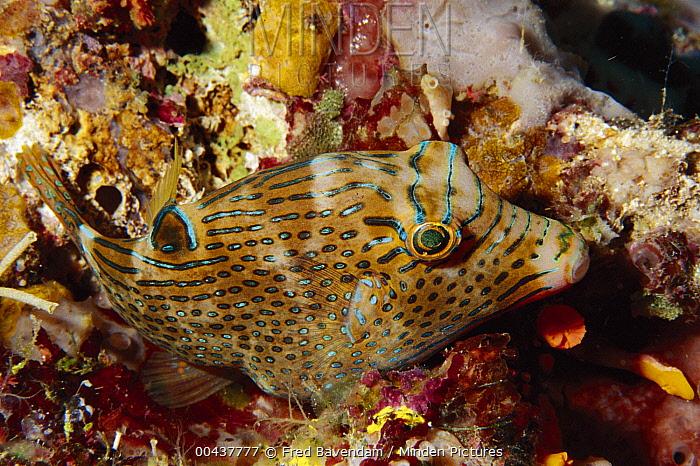 False-eyed Pufferfish (Canthigaster papua) amid coral, Solomon Islands  -  Fred Bavendam
