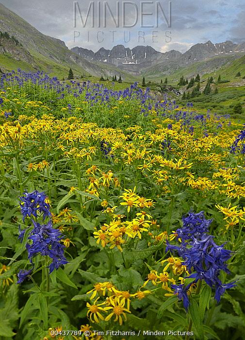 Larkspur (Delphinium sp) and Broom Groundsel (Senecio spartioides) flowers, American Basin, Colorado  -  Tim Fitzharris