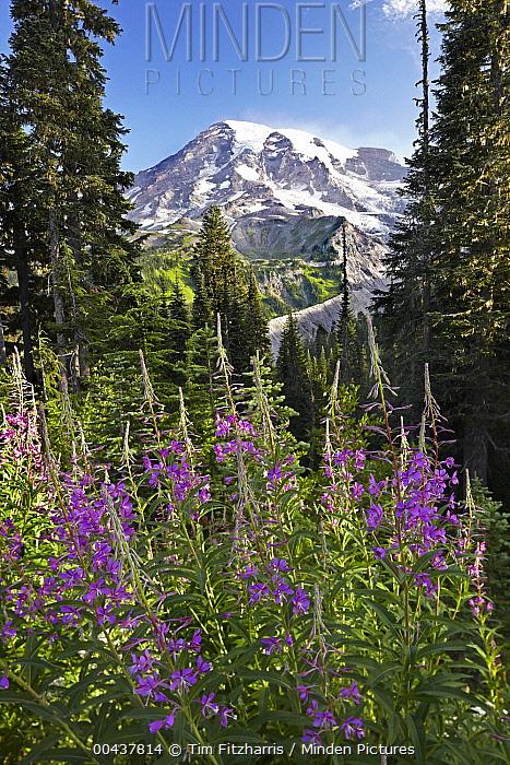 Fireweed (Chamerion angustifolium) flowering and Mount Rainier, Mount Rainier National Park, Washington  -  Tim Fitzharris