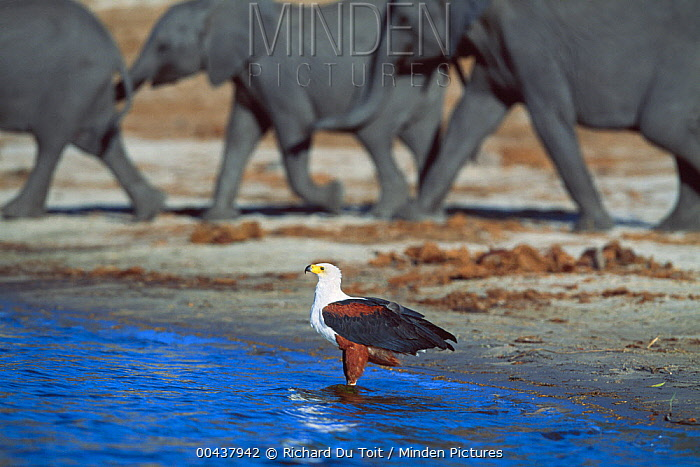 African Fish Eagle (Haliaeetus vocifer) and African Elephant (Loxodonta africana) group at waterhole, Chobe River, Botswana